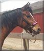 Doluche the Arabian Horse
