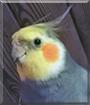 Ruudi the Cockatiel