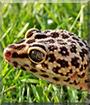 Murphy the Leopard Gecko