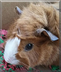 Ginger Snap the Guinea Pig