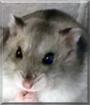 Tom the Dsungarian Dwarf Hamster