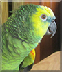 Amy the Blue Fronted Amazon Parrot