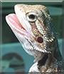 Skewt the Bearded Dragon