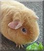 Ginger the Teddy Guinea Pig