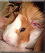 Alfred the Guinea Pig