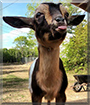 Ember the Nigerian Dwarf Goat