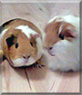 Lilli and Nelli the Guinea Pigs