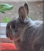 Fred the Netherland Dwarf Rabbit