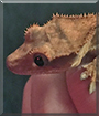 Gorge the Crested Gecko