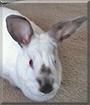 Princess the Californian/Mini Rex Rabbit