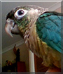 Chika the Turquoise Green Cheek Conure