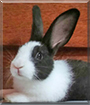 Bonnie the Dutch Rabbit