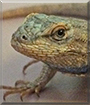 Marco the Western Fence Lizard