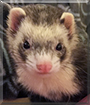 Aphrodite the Ferret