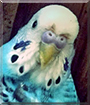 Pineapple the Budgerigar