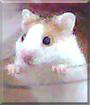 Tango the Syrian Hamster