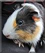 Pipkin the Guinea Pig