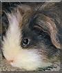 Archie the Peruvian Guinea Pig