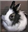 Okehi the Dwarf Rabbit