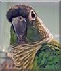 Pazu the Green Cheek Conure