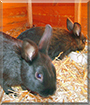 Stups, Mausi the Rabbits