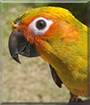 Sammy the Sun Conure