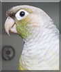Princess the Green Cheek Conure