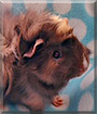 Riot the Abyssinian Guinea Pig