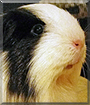 Scully the Silkie Guinea Pig