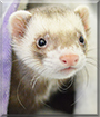 Otis the Ferret