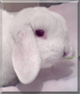 Morris the Albino Lop Rabbit