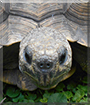 Manuelita the Gopher Tortoise