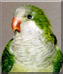 Kiwi the Quaker Parrot
