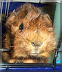 Rascal the Abyssinian Guinea Pig