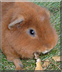 Taffy the Teddy Bear Guinea Pig