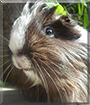 Kleo the Guinea Pig