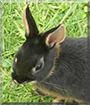 Micki the Dwarf Rabbit