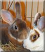 Cherry and Inky the Mini Rex Rabbits