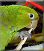 Paco the White-eyed Conure