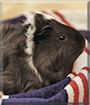 Wig Wig the Abyssinian Guinea Pig