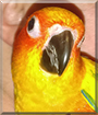 Meeka the Sun Conure