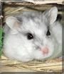 Bandit the Hamster