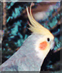 Jojo the Cockatiel