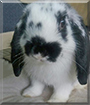Mr. Toggle the Lop Rabbit