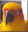 Bird the Sun Conure