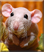 Móó-Shó the Hairless Dumbo Rat