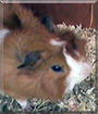 Moritz the Abyssinian Guinea Pig