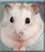 Chiyu the Dwarf Hamster