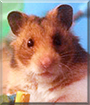 Sparrow the Syrian Hamster