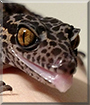 Silas the Chinese Cave Gecko